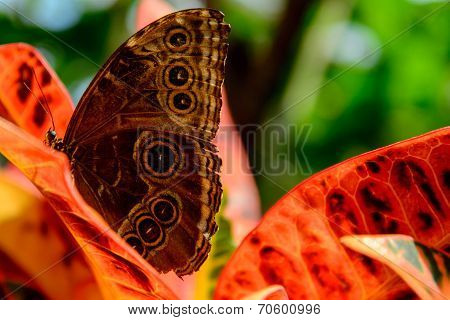 Blue Common Morpho Butterfly