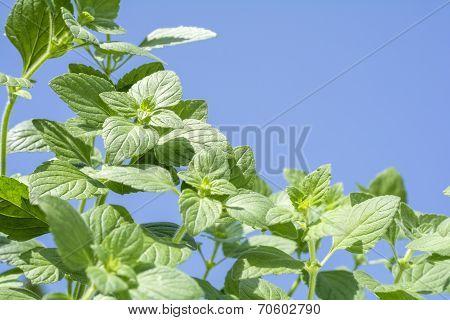 Lesser calamint plants