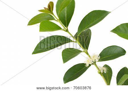 Strawberry guava flower in white
