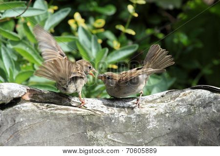 Young sparrows birds