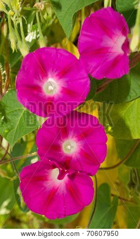 Deep pink flowers of Morning Glory, against green leaves