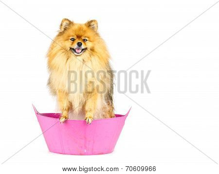 Pomeranian Dog Prepare To Taking A Bath Standing In Pink Bathtub Isolated On White Background