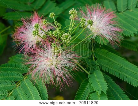 Persian Silk Tree Bloom