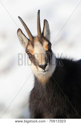Chamois - Rupicapra, Detail View