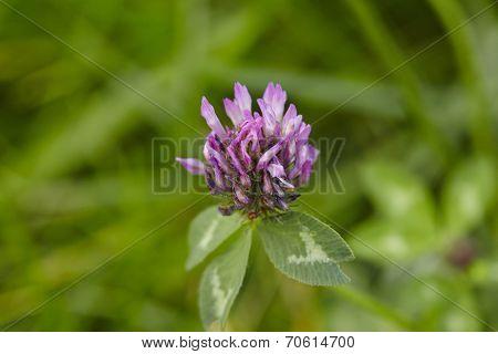 Flora - Shamrock (trifolium)