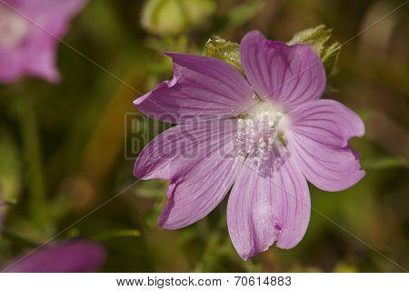 Flora - Malva (malva Sylvestris)