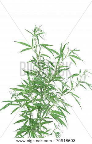 Young new growing cannabis plant.