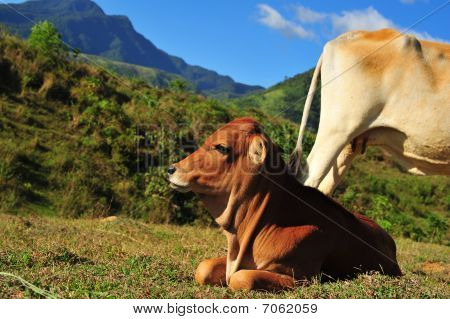 Calf In The Meadows