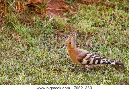 Hoopoe Walking On Grass