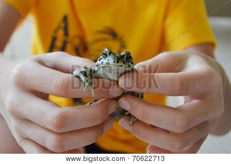 Green Toad In Hands.