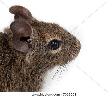 Common Degu, Brush-tailed Rat, Octodon Degus