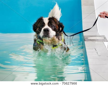 St Bernard Dog Taking A Swim