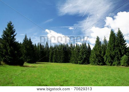 Spruce forest in the Sumava National Park, Sumava, Czech