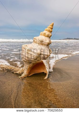 Horse Conch And Wave