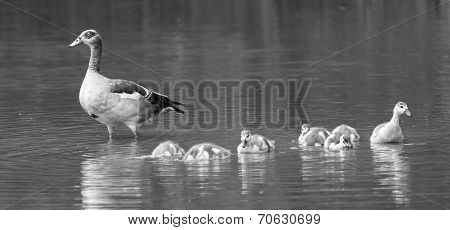 Egyptian Goose Family Go For A Swim On Their Own In Dangerous Water Artistic Conversion