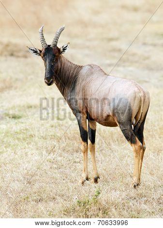 Masai Mara Topi