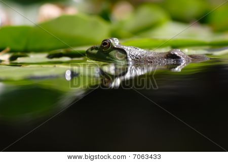 Down At Water Level With Bullfrog