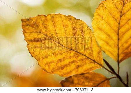 Bright Golden Beech Tree Leaf In Autumn Sunshine
