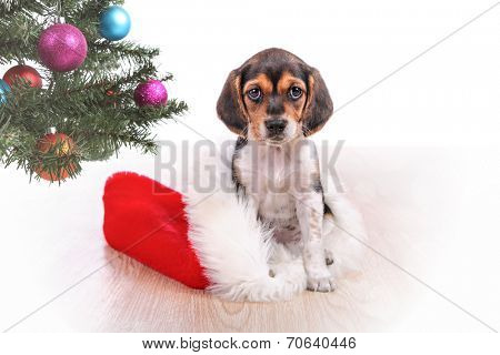 Beagle puppy present sitting in a santa hat by the Christmas tre