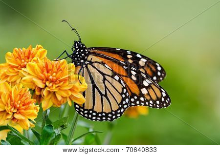 Monarch Butterfly (danaus Plexippus) During Autumn Migration