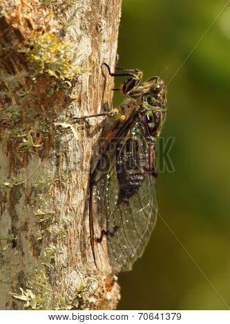 New Zealand Cicada On Tree