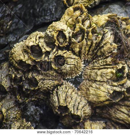 Golden Barnacles