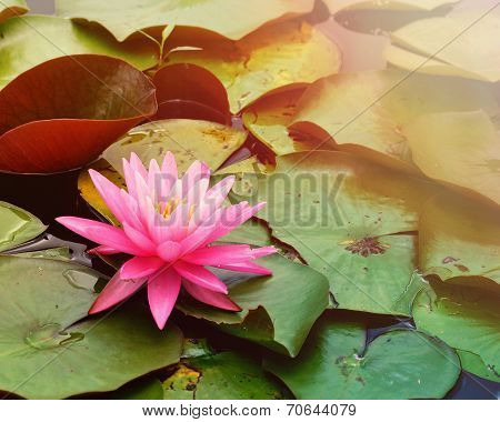 Pink Lily Pad In Water With Copyspace