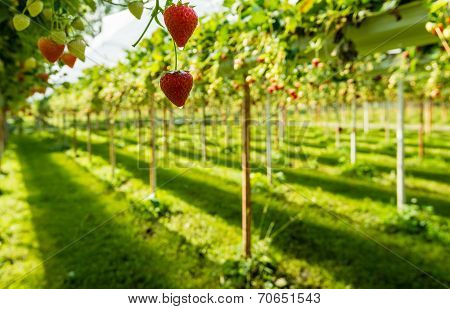Hanging Strawberries With Water Drops From Close