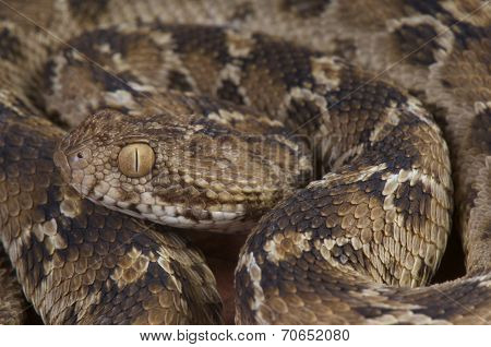 Egyptain saw-scaled viper / Echis pyramidum