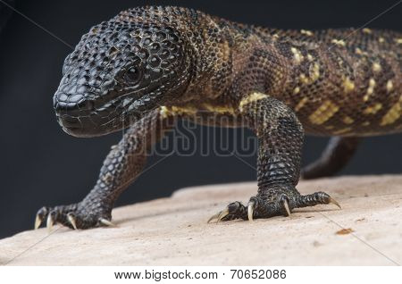 Beaded lizard / Heloderma horridum
