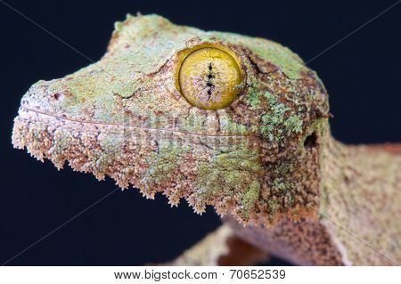 Leaf-tailed gecko / Uroplatus sikorae