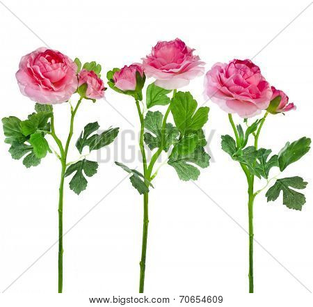 Collection set of  Buttercup Flower Ranunculus isolated on white background