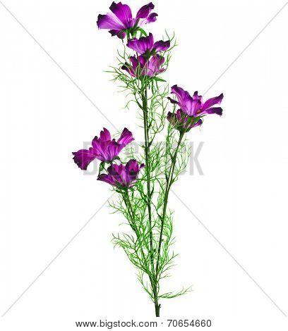Purple Garden Cosmos Bipinnatus Flower on White Background