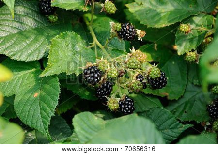Berries Of Blackberry On The Leaf