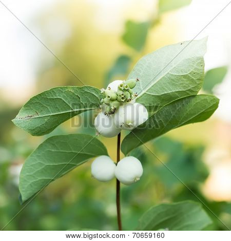 Snowberries, Symphoricarpos