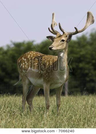 Full Frame Of Deer On Meadow