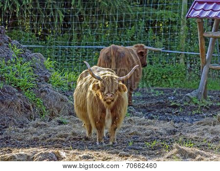 Scottish Highland Cow Calf