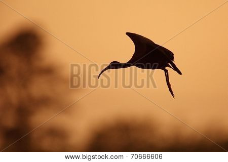 Silhouette Of White-faced Ibis In Flight At Sunset