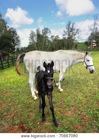 The rich country estate, with the special fence on green grass walk their beautiful horses. Thoroughbred white horse with a charming black colt