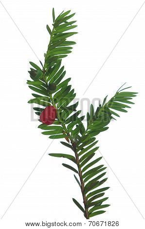 Yew Twig With Fruits