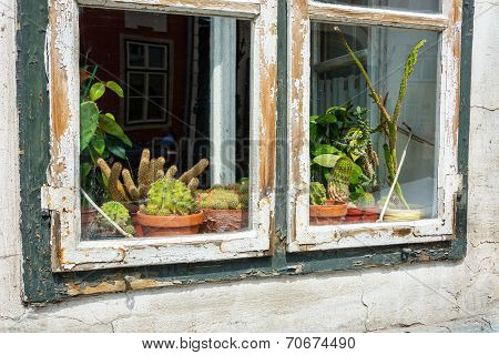 Cacti On Display On A Window Sill With Peelng Wooden Frame
