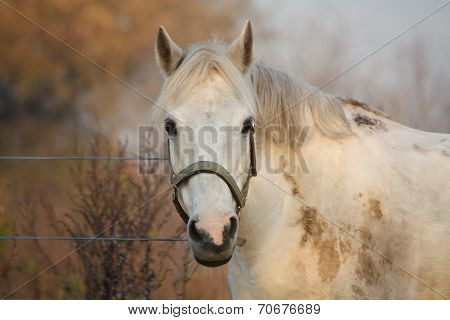 Cute Gray Pony Portrait In The Paddock