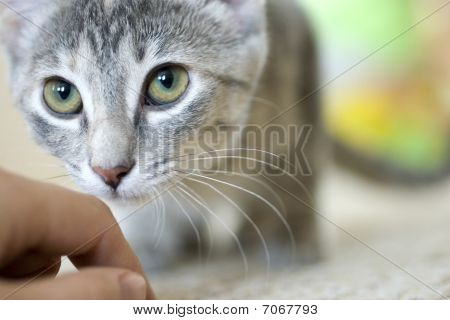 Gray Cat Sniffing Hand