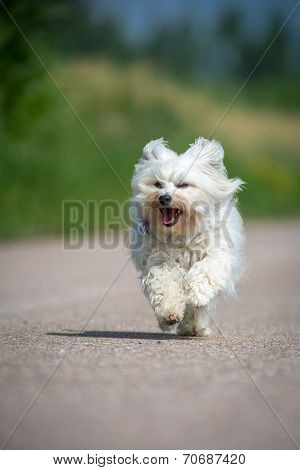 A White Long-haired Dog