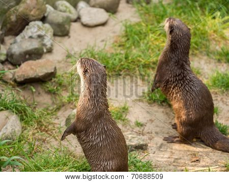 Asian Small-clawed Otter Standing