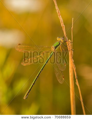 Green Damselfly On Corn