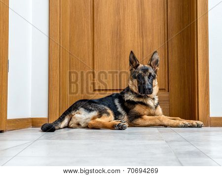Five month German Shepherd puppy waiting by the doors