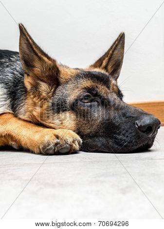 Closeup of German Shepherd puppy lying down on the floor