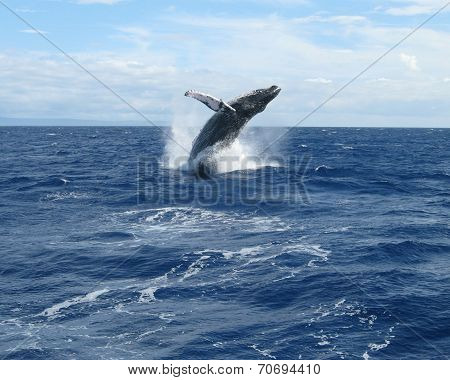 Whale Breaching off West Maui, Hawaii