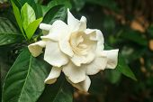 stock photo of gardenia  - beautiful Gardenia jasminoides flower on tree in garden - JPG